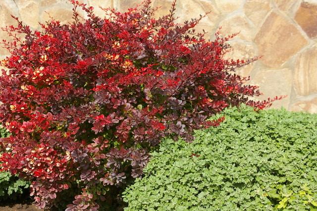 Краснолистные кустарники для контрастных композиций