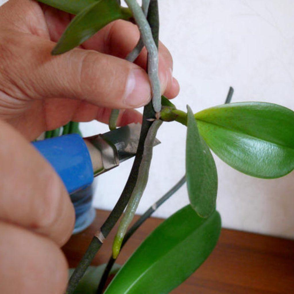 Размножение орхидей листьями картинки