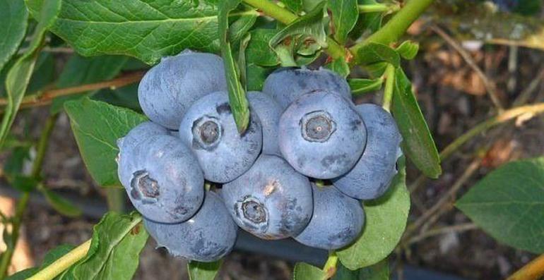 Частые ошибки при выращивании садовой голубики