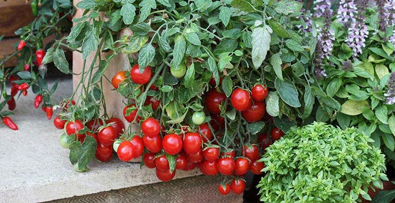 Лучшие сорта томатов для подоконника и балкона