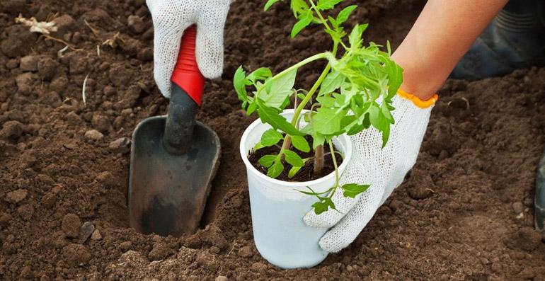 Что необходимо класть в лунки при посадке помидоров?