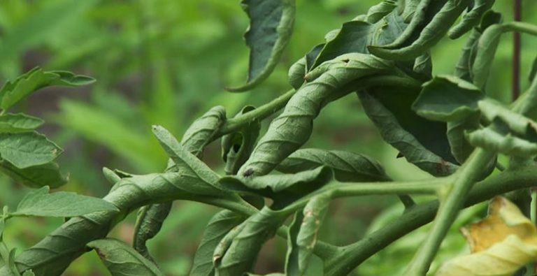 рассада помидор листья закручиваются вниз