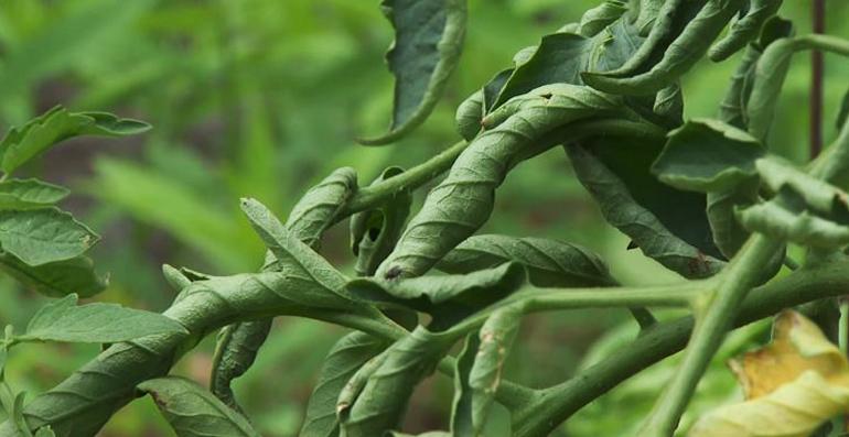 почему закручиваются листья у рассады помидор